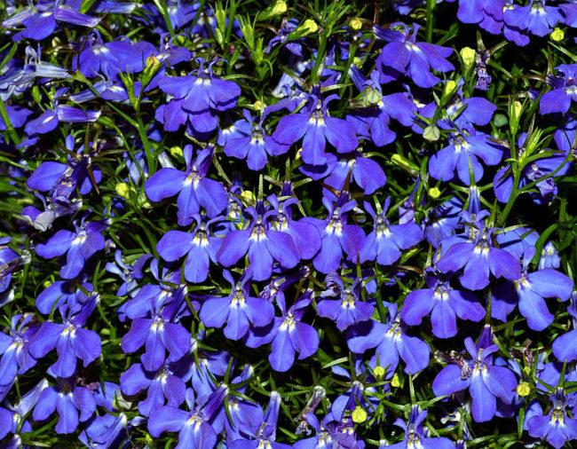 blue palette garden Lobelia